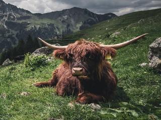 Собирать пазл Шотландская корова онлайн