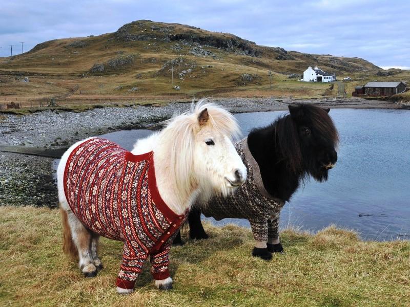 Пазл Собирать пазлы онлайн - Шотландские пони