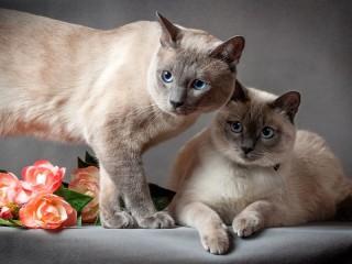 Собирать пазл Сиамские коты онлайн