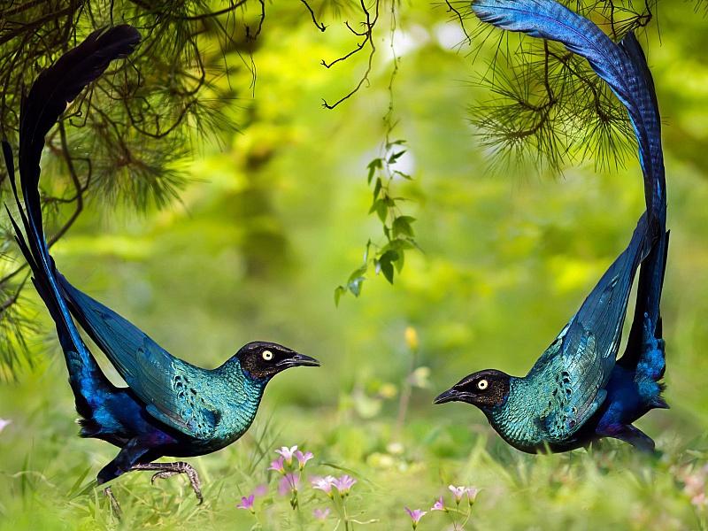 Пазл Собирать пазлы онлайн - Синие птички