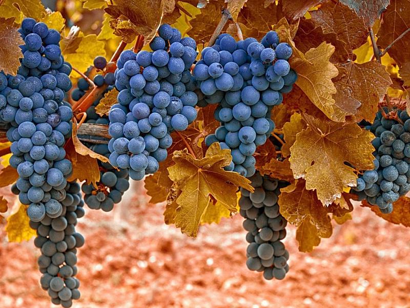 Пазл Собирать пазлы онлайн - Синий виноград
