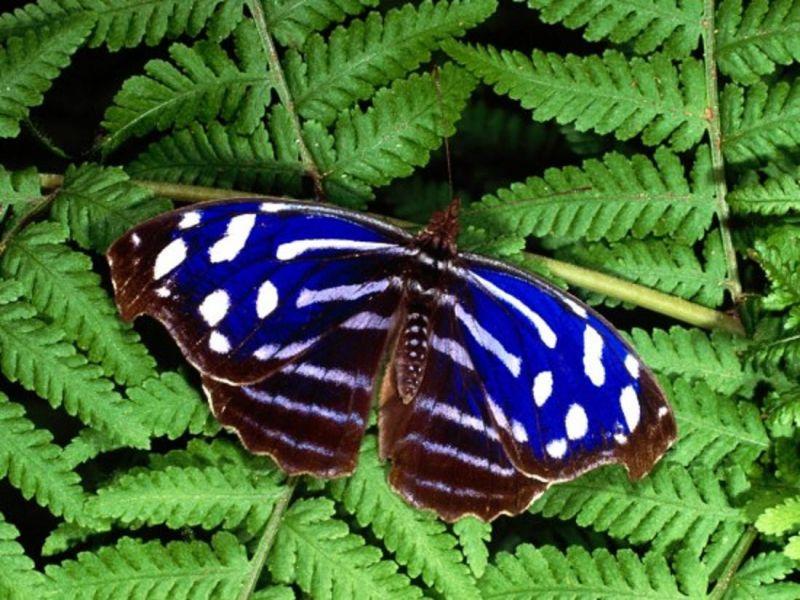 Пазл Собирать пазлы онлайн - Синяя бабочка