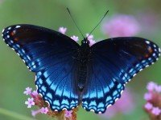 Собирать пазл Синяя бабочка онлайн