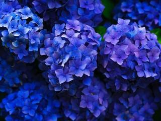 Собирать пазл Синяя гортензия онлайн