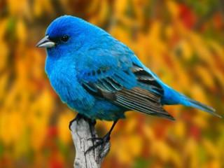 Собирать пазл Синяя птичка онлайн