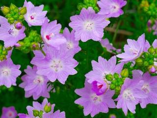 Собирать пазл Сиреневые цветы онлайн