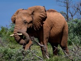 Собирать пазл Слон онлайн