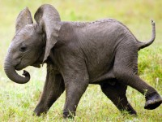 Собирать пазл Слонёнок онлайн