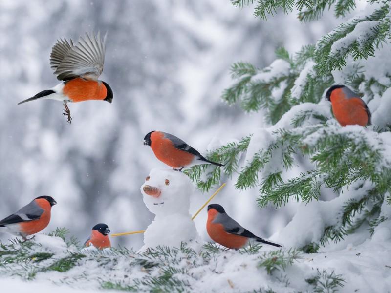Пазл Собирать пазлы онлайн - Снегири и снеговик