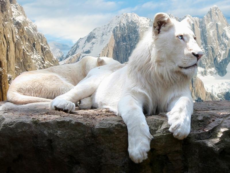Пазл Собирать пазлы онлайн - Снежный лев