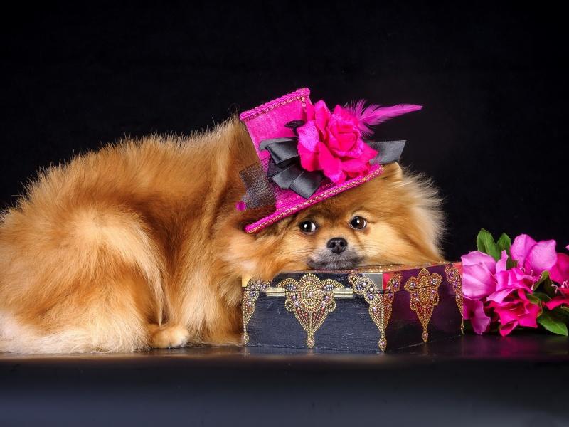 Пазл Собирать пазлы онлайн - Собачка в шляпке