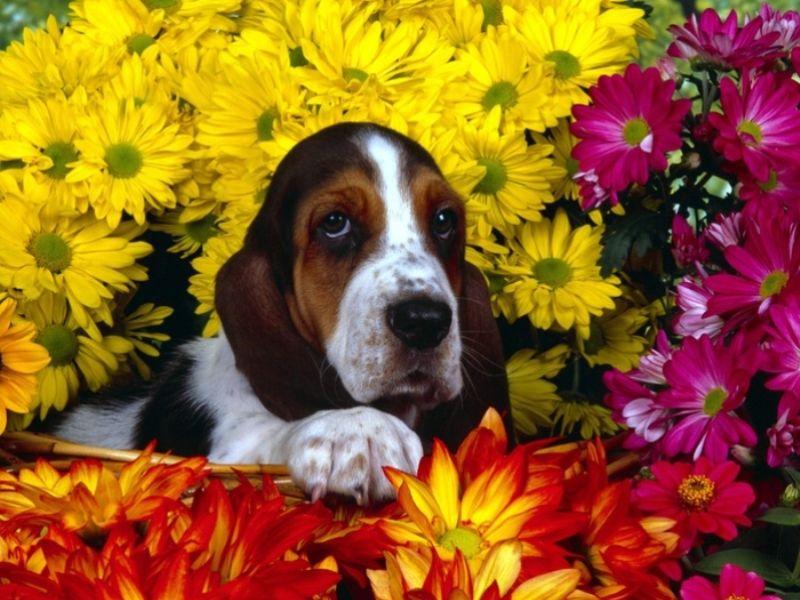 Пазл Собирать пазлы онлайн - Собака и цветы