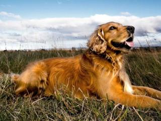 Собирать пазл Собака на лугу онлайн
