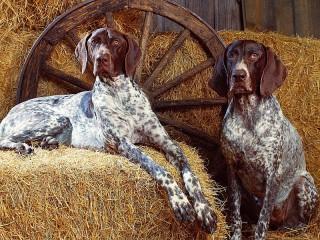Собирать пазл Собаки на сене онлайн