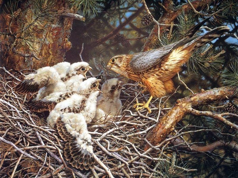 Пазл Собирать пазлы онлайн - Сокол с птенцами