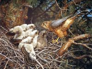 Собирать пазл Сокол с птенцами онлайн