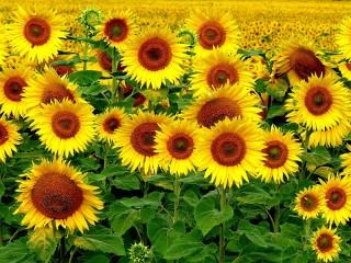 Собирать пазл Солнышки-подсолнышки онлайн