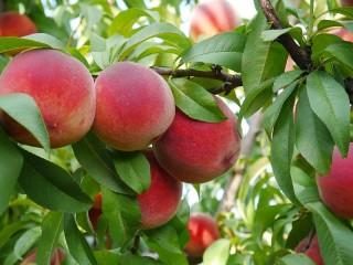 Собирать пазл Спелые персики онлайн