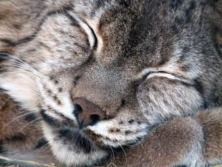 Собирать пазл Спящая рысь онлайн