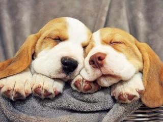 Собирать пазл Спящие щенки онлайн