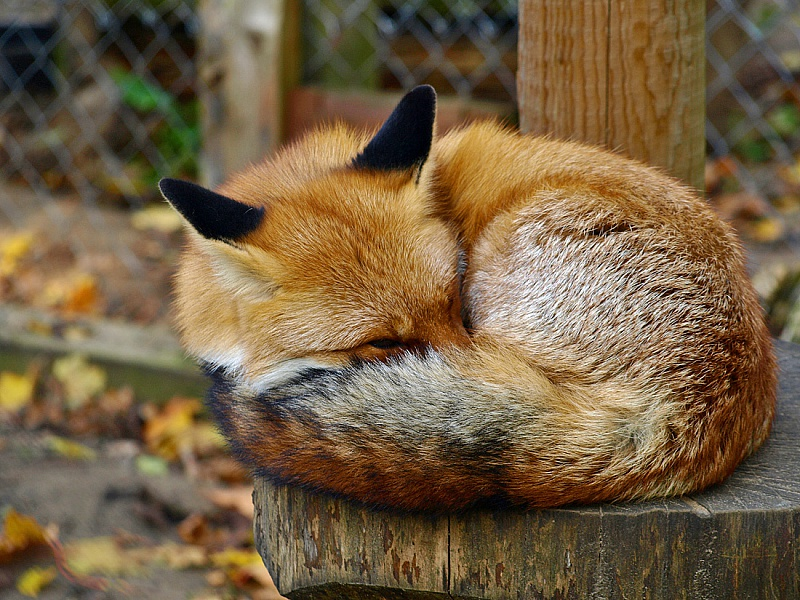 Пазл Собирать пазлы онлайн - Спящий лисёнок