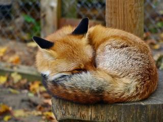 Собирать пазл Спящий лисёнок онлайн