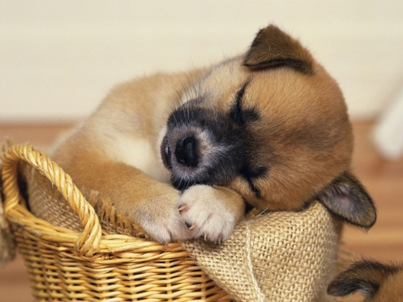 Пазл Собирать пазлы онлайн - Спящий щенок