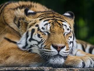 Собирать пазл Спящий тигр онлайн