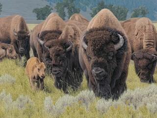 Собирать пазл Стадо бизонов онлайн