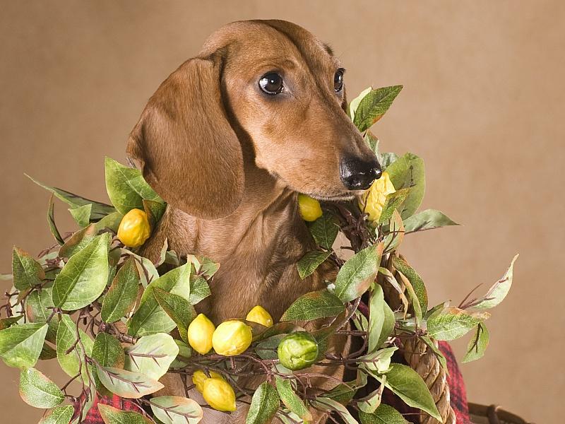 Пазл Собирать пазлы онлайн - Такса в лимонах