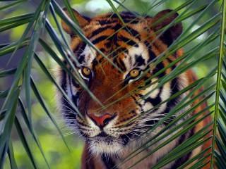 Собирать пазл Тигр онлайн