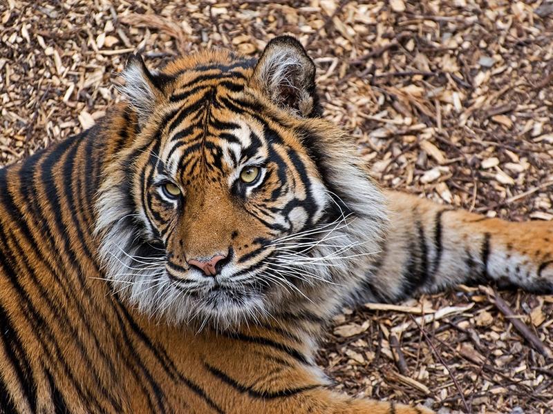 Пазл Собирать пазлы онлайн - Тигр
