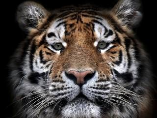 Собирать пазл Тигр из тьмы онлайн