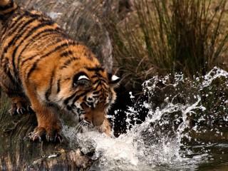 Собирать пазл Тигр на водопое онлайн