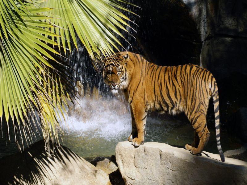 Пазл Собирать пазлы онлайн - Тигр у водопада