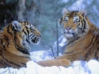 Собирать пазл Тигры на снегу онлайн
