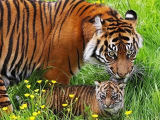 Собирать пазл Тигры в траве онлайн