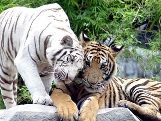 Собирать пазл Тигриная нежность онлайн