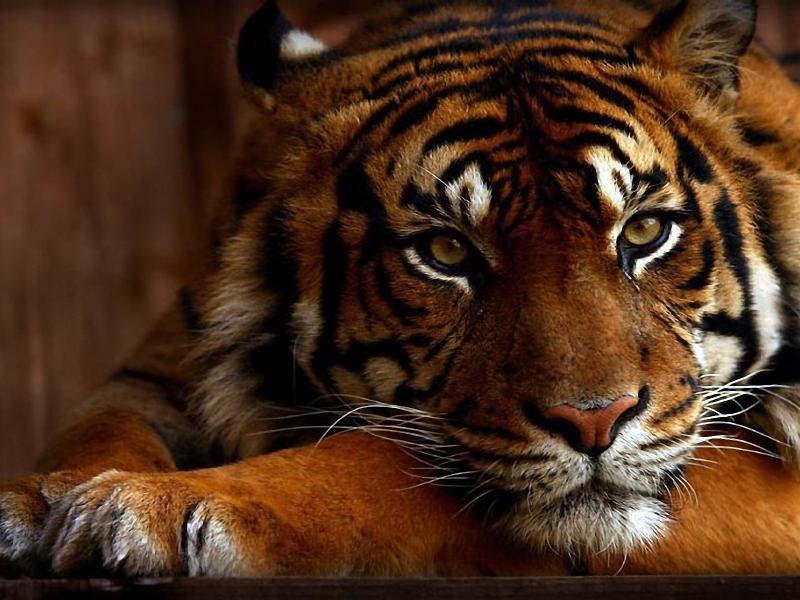 Пазл Собирать пазлы онлайн - Тигрица