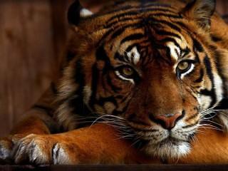 Собирать пазл Тигрица онлайн
