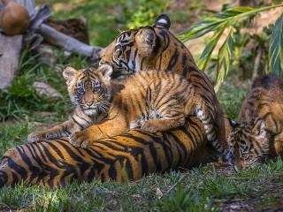 Собирать пазл Тигрица с тигрятами онлайн