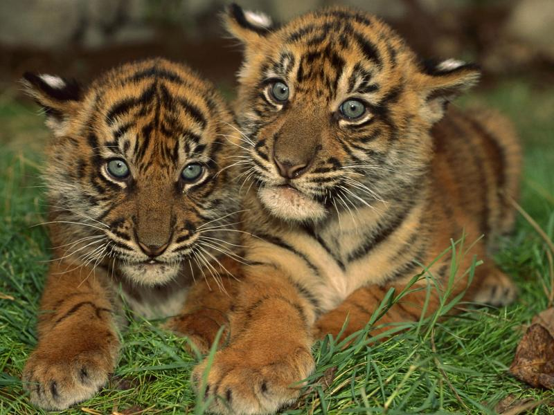 Пазл Собирать пазлы онлайн - Тигрята