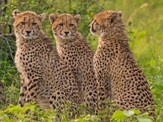 Собирать пазл Три гепарда онлайн