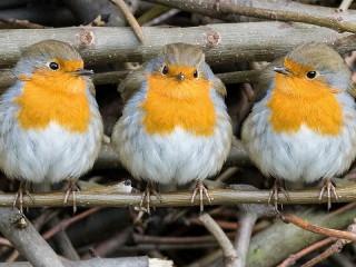 Собирать пазл Три птички онлайн