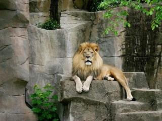 Собирать пазл Царь зверей онлайн