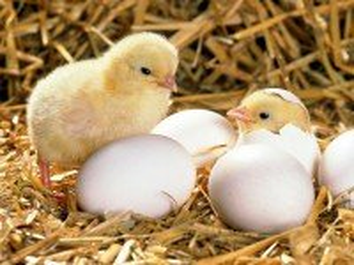 Собирать пазл Цыплята онлайн