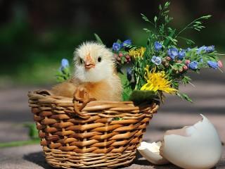 Собирать пазл Цыплёнок в корзинке онлайн