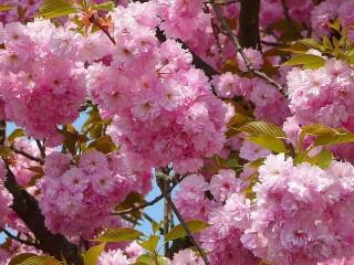 Собирать пазл Цветение сакуры онлайн