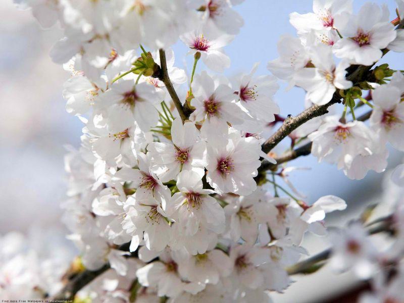 Пазл Собирать пазлы онлайн - Цветение вишни