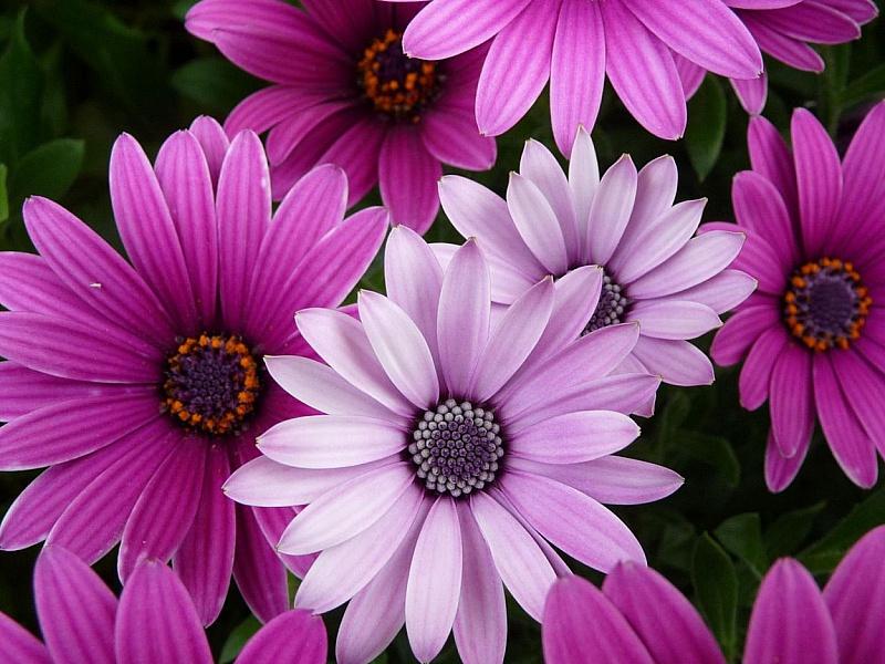 Пазл Собирать пазлы онлайн - Цветы